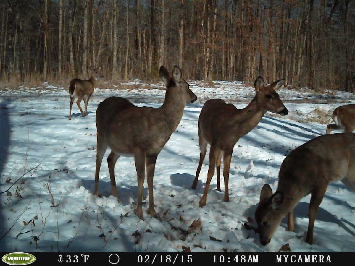 Deer Management And Why I Do It