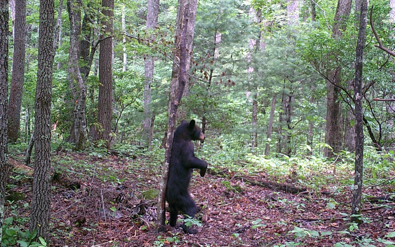 #47: Bear Biology and Behavior with State Project Leader Adam Hammond